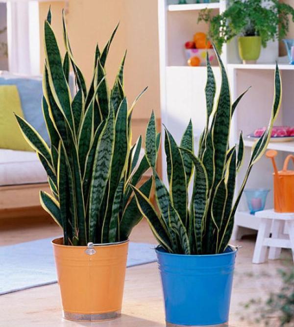 Сансевиерия комнатные растения