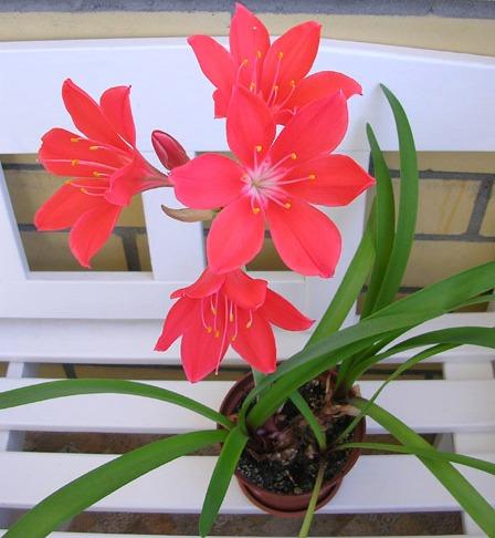 красные цветы валлота