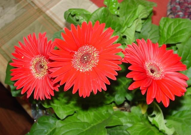 красные цветы гербера