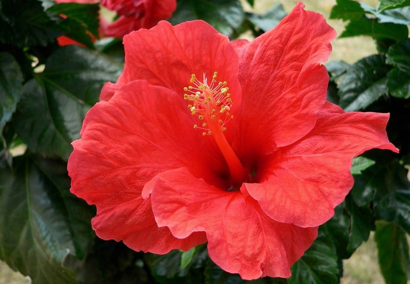 красные цветы гибискус