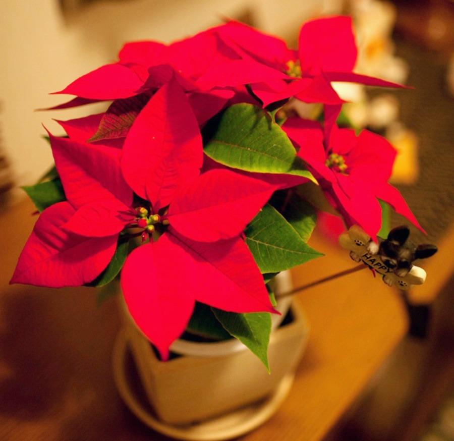 красные цветы молочай