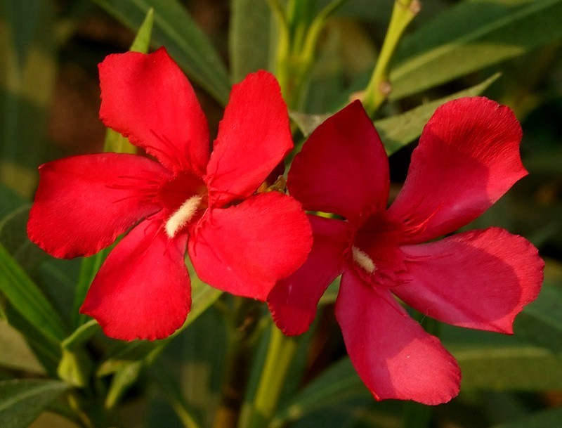 красные цветы олеандр