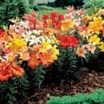 садовый дизайн лилии