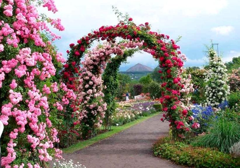 розы в саду арка