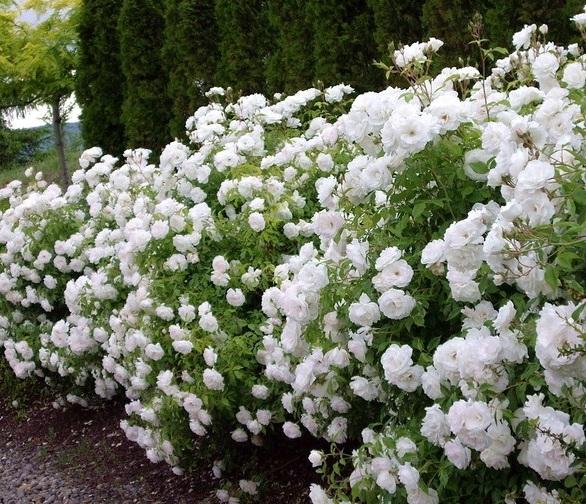 розы в саду полиантовые