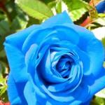 розы в саду2