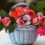 чайная роза в корзине