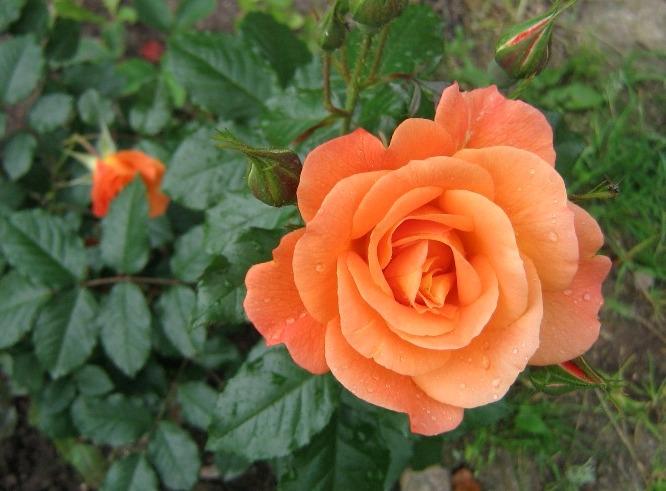 чайная роза 2