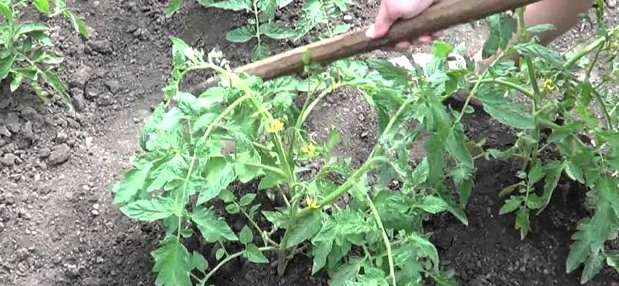 окучивание помидор