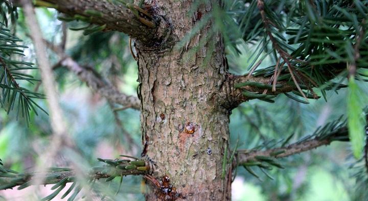смола на елке