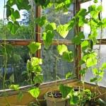 Огурцы на подоконнике зимой выращивание