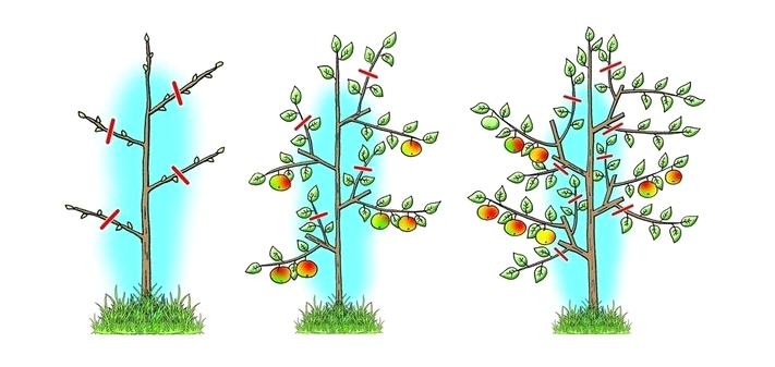 Схема обрезки кроны яблони