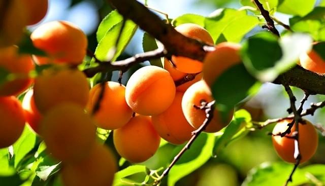 вырастить абрикос из косточки