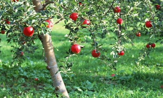 подкормка яблони2