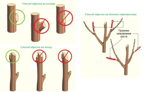 правила обрезки яблонь