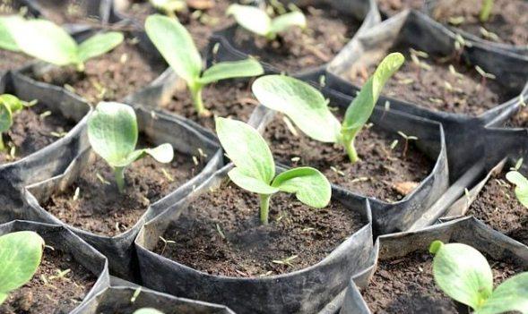 выращивание кабачков рассада