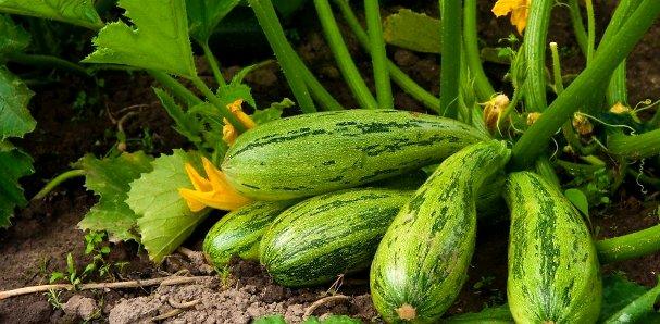 выращивание кабачков1