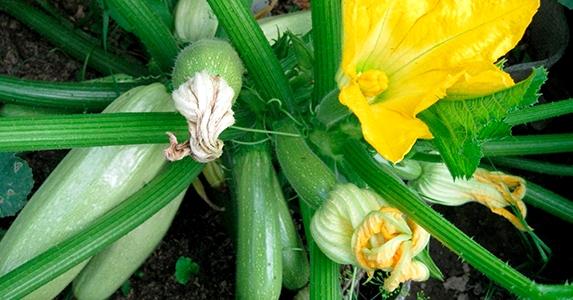 выращивание кабачков2