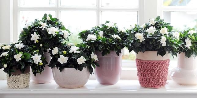 домашние цветы гардении