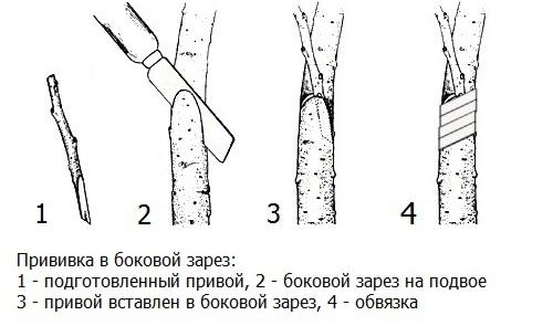 прививка деревьев в боковой зарез
