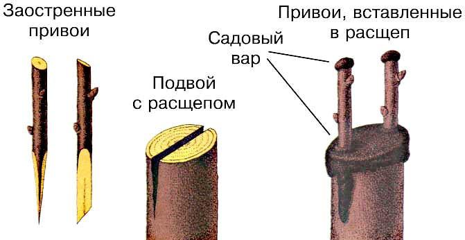 прививка деревьев2