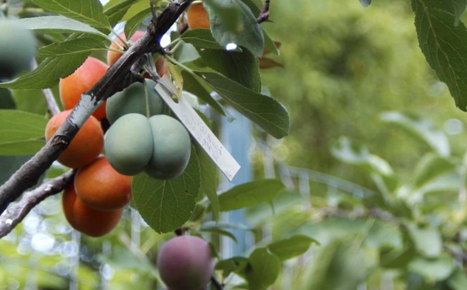 привитое фруктовое дерево