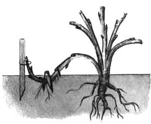 размножение пионов вертикальными отводками1