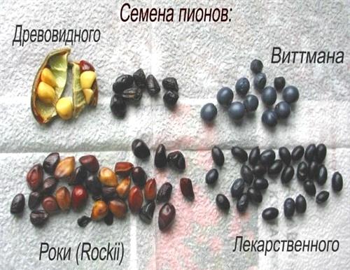 семена пионов размножение