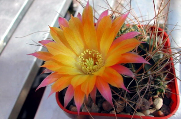 echinopsis pampana разновидность кактуса