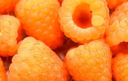 «Золотой гигант» сорт малины