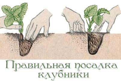 как правильно садить клубнику