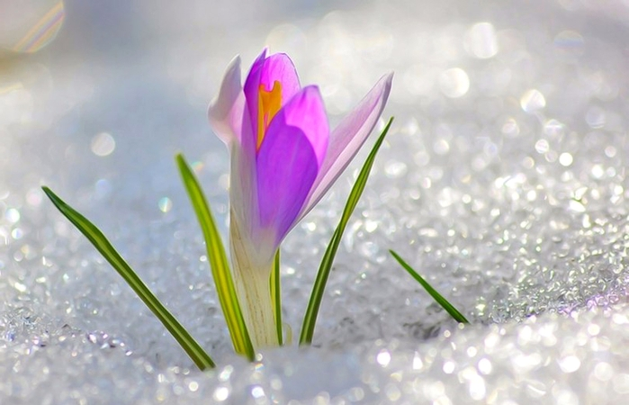 крокус весной