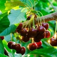 черешня урожай