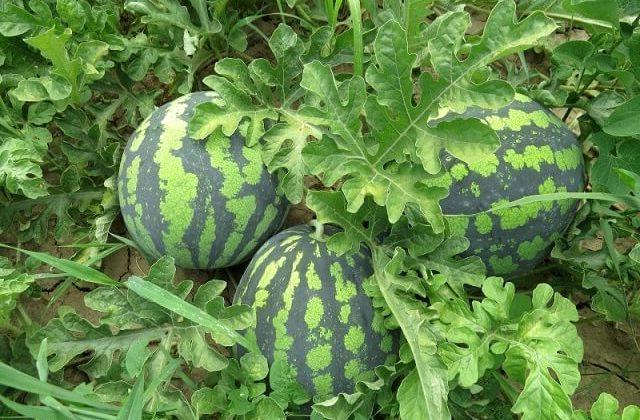 Как выращивать арбузы в домашних условиях