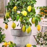 Как посадить комнатный лимон