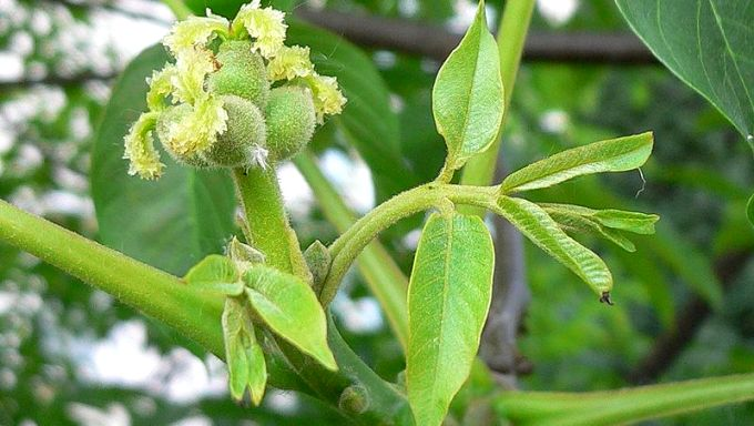 грецкий орех цветок