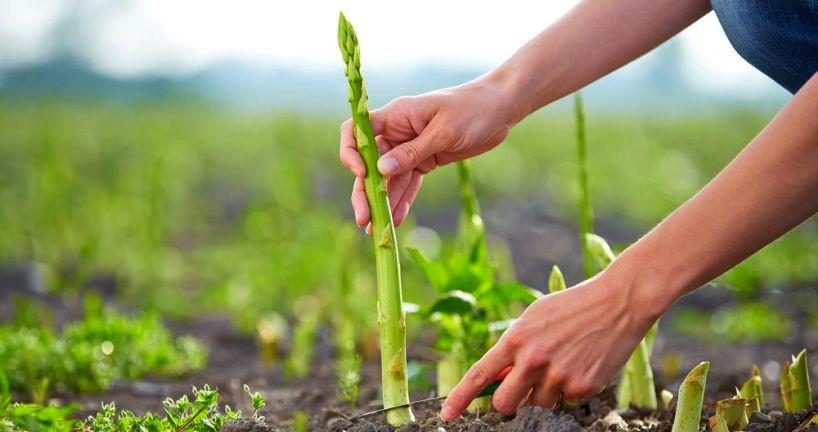 Выращивание спаржи2