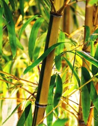 листоколосник золотой бамбук