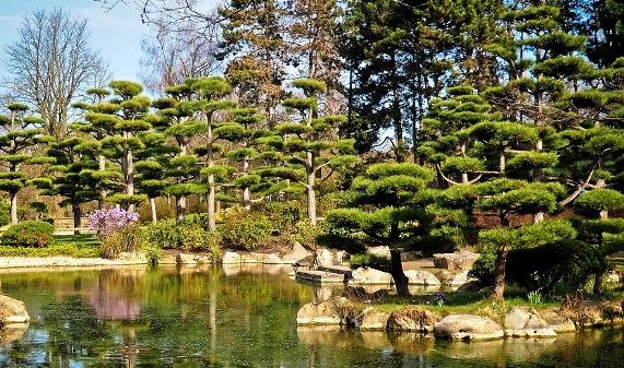 японский сад деревья