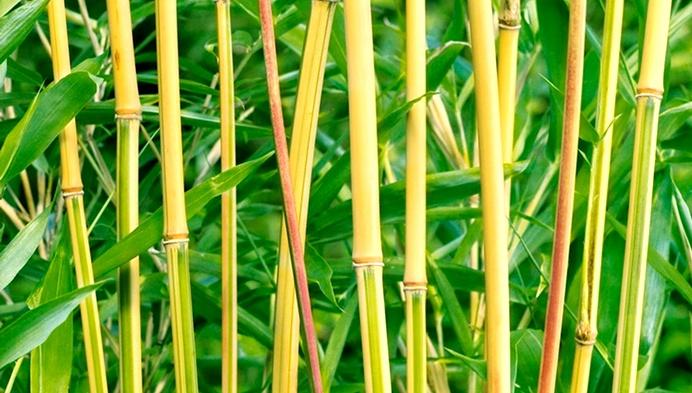 Kimmei комнатный бамбук