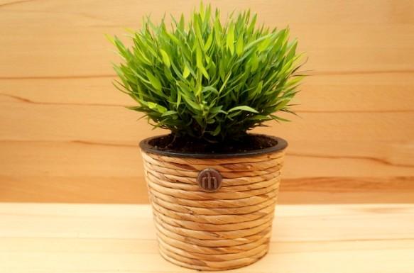pogonatherum комнатный бамбук